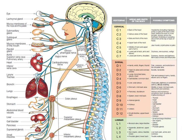 relation nerf organe